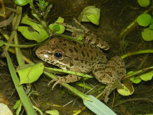 Water Frog (Pelophylax spec.) subadult