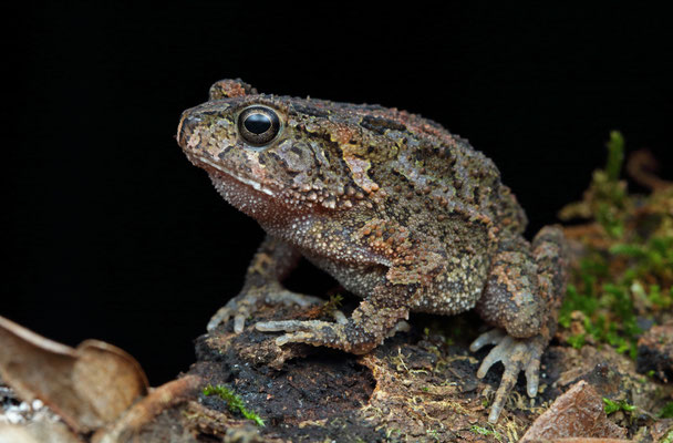 Kisolo Toad (Sclerophrys kisoloensis)