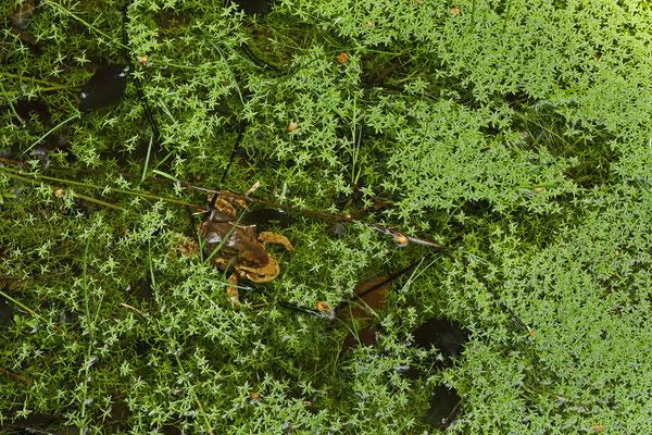 Common Toads (Bufo bufo) depositing eggs.