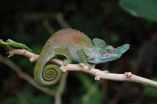 Rwenzori Plate-nosed Chameleon (Kinyongia xenorhina) male