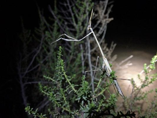 Sublime Conehead Mantis (Hypsicorypha gracilis)