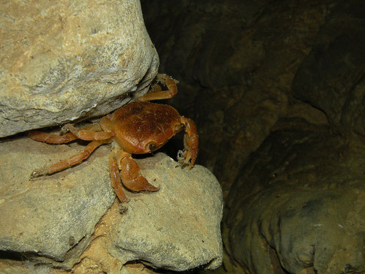 Cave crab (Potamon spec.)