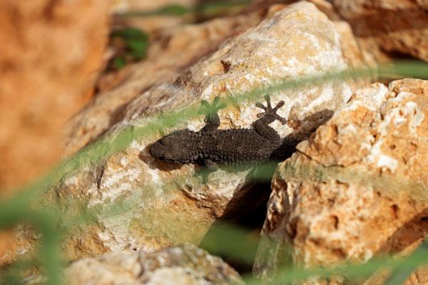 Moorish Gecko (Tarentola mauritanica) basking