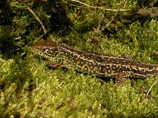 Sand Lizard (Lacerta agilis) male