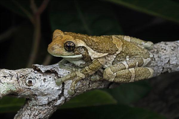 Pepper Treefrog (Trachycephalus typhonius)