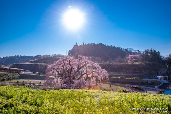 7 - Miharu waterfall cherry tree. One of Japan's most beautiful sakura tree, located in Fukushima Prefecture.