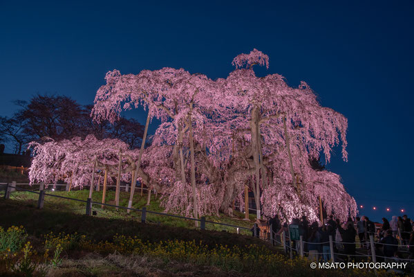 7 - Miharu waterfall cherry tree. One of Japan's most beautiful sakura tree, with artificial lighting, located in Fukushima Prefecture.