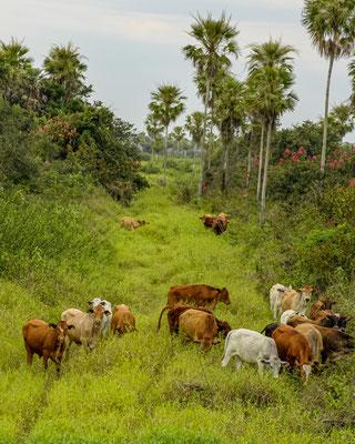 BRASIL - Mato Grosso, Pantanal Matogrossense.