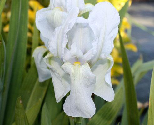 Iris Germanica Alba