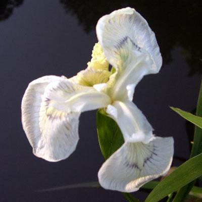Iris Pseudacorus White
