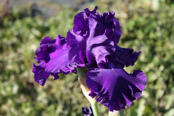 Purple Ritz    Painter 2003