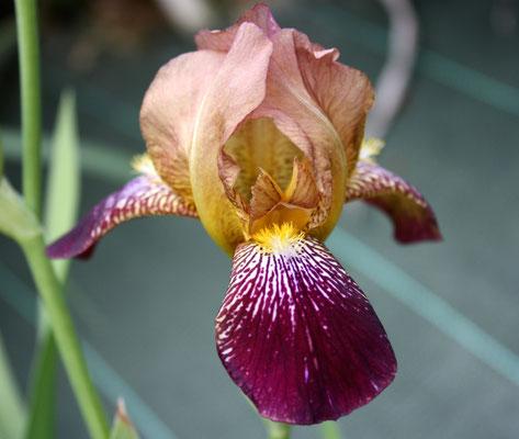 Iris Sanbusina