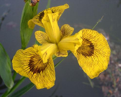 Iris Pseudacorus Roy Davidson