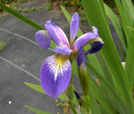 Iris Versicolore Bleu