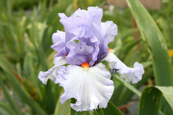 BLUE RISING    BLYTH 2006