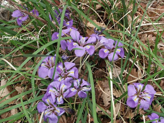 Iris Unguilaris