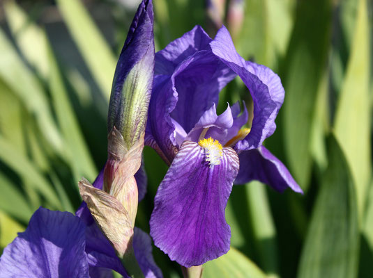 Iris Germanica Caeruela