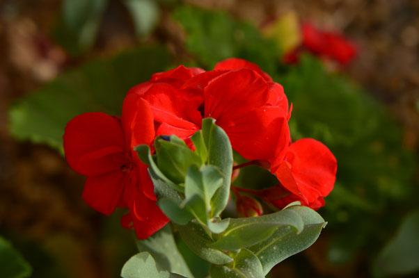 Pelargonium hortatum