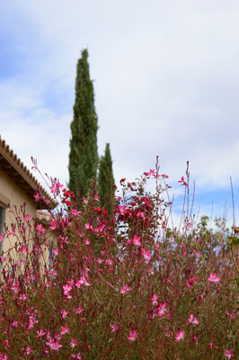 Gaura and Cypresses