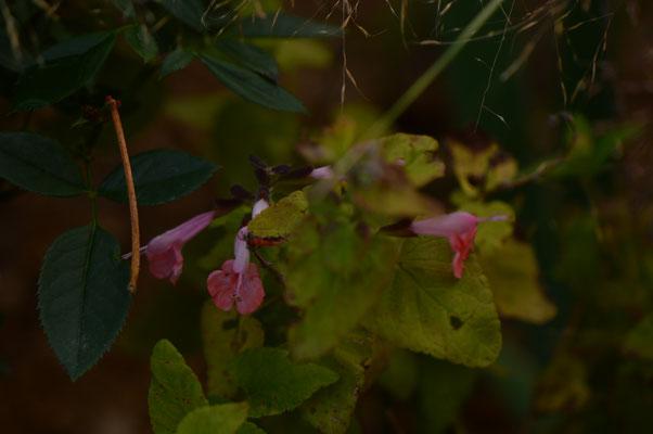 "Salvia ""Summer Jewels"""