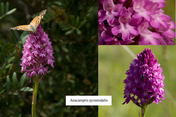 farfalla    (  VANESSA CARDUI  )