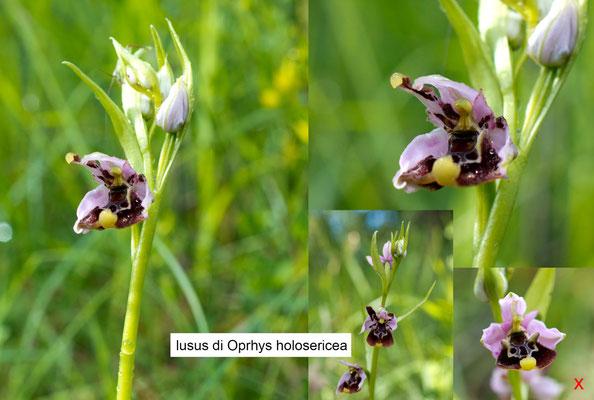 lusus di  Holosericea con petali labellati....X rossa.... stessa pianta, ma fiore in alto