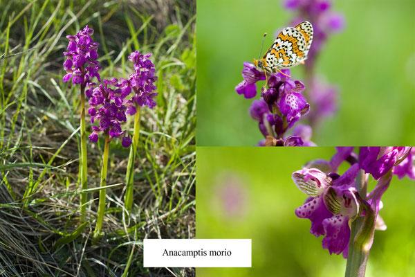 farfalla ( MELITAEA PHOEBE )