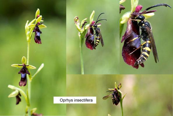 Oprhys insectifera con il proprio specifico insetto impollinatore  Argogorytes Mystaceus maschio ...si vede l'organo riproduttore fuori...