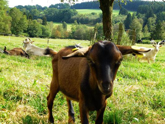 Urlaub auf dem Bauernhof NRW mit Ziegen