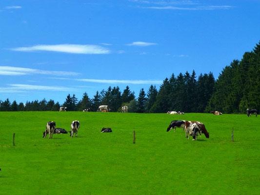 Kühe auf der Weide - Bauernhofurlaub