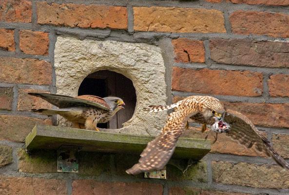 Das Weibchen schnappt sich den Vogel und fliegt damit davon, der Terzel schaut etwas verdutzt hinterher