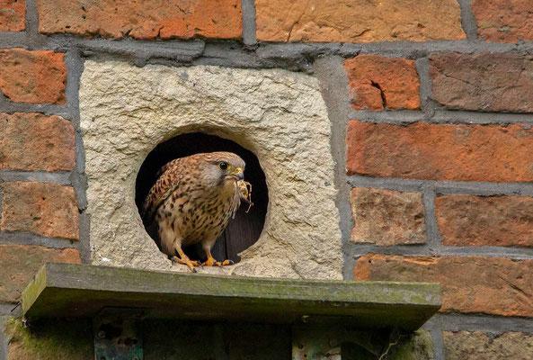 etwas später kommt das Weibchen mit einem toten Vogel heraus,