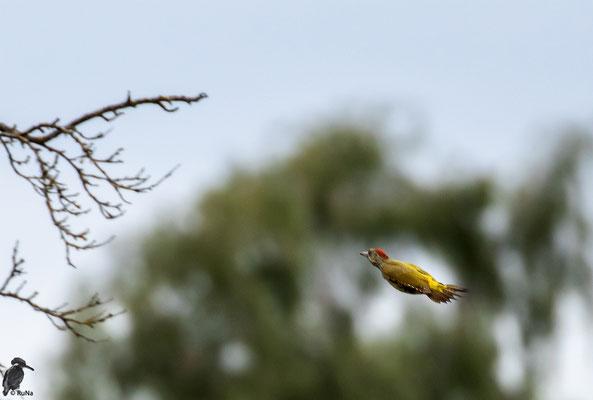 Etwas muss sie gestört haben, denn sie flogen dann ab in die sicheren Bäume.