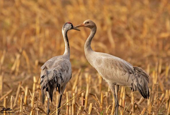 Jung- und Altvogel