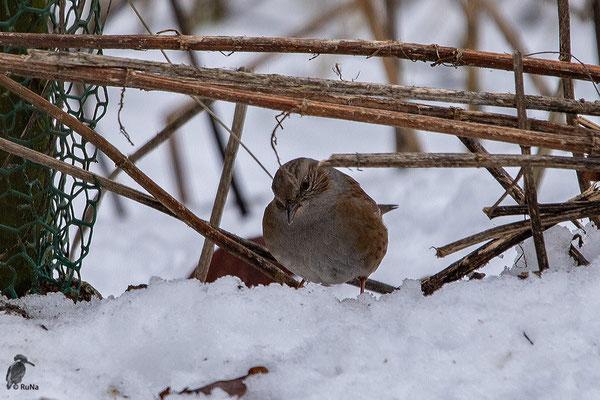 Das war nichts. Nun ist sie wieder unten im Schnee und sucht dort nach herab gefallenen Körnern.