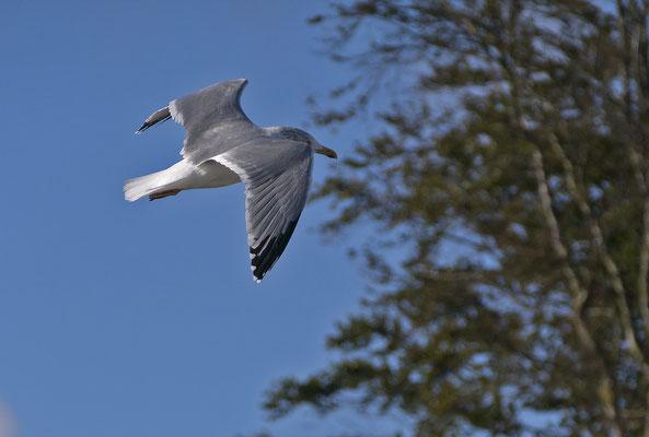 adulte Silbermöwe im Flug