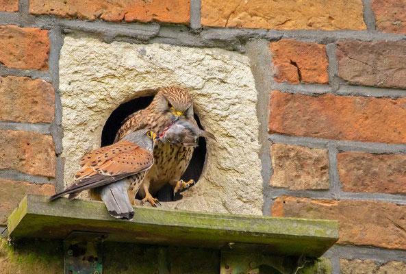Der Terzel bringt einen Vogel als Beute