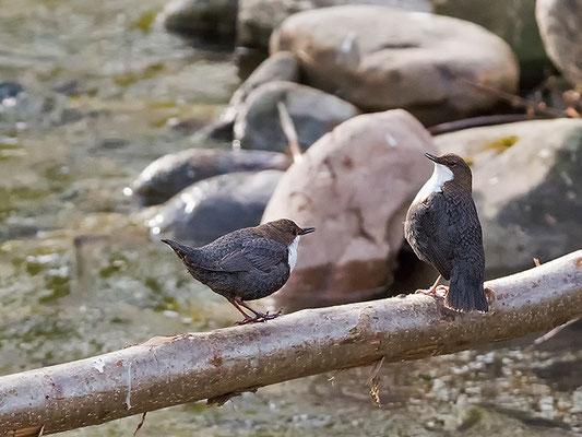 beide Altvögel zusammen