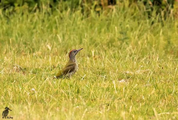 Ein junger Grünspecht im Gras