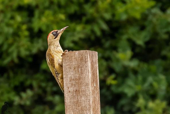Das Weibchen flog vom Boden an diesen Pfahl, bevor es kurz darauf weiter flog.