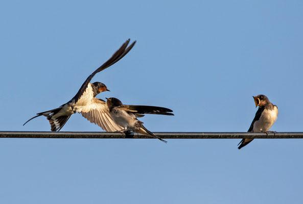 ein Elternvogel kommt angeflogen
