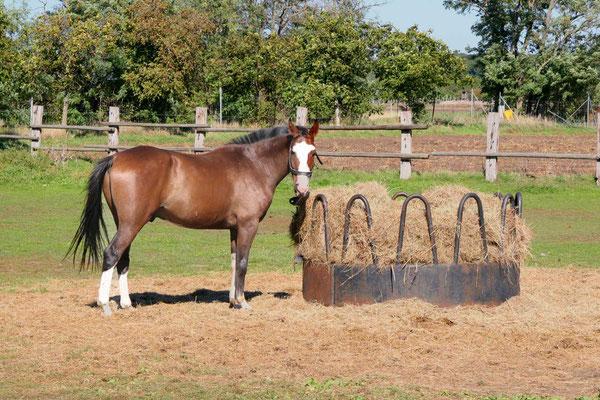 Pferd frißt Heu am Einstallplatz Althof im Burgenland