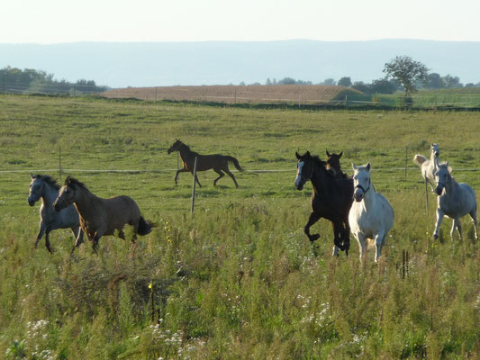 Pferde laufen auf der Wiesenkoppel am ALthof, Burgenland