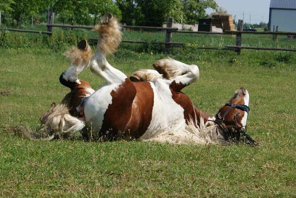 Pferd wälzt sich vergnügt am Reiterhof Althof, Burgenland