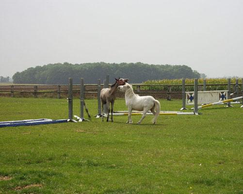 zwei junge Hengste auf der Weide