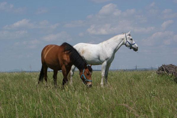 Zwie Pferde auf der Wiesenkoppel, Reiterhof Althof, Burgenland
