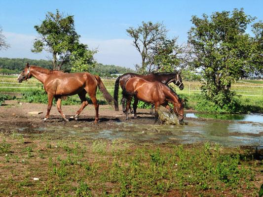 Pferde am Waserloch am Reiterhof Althof