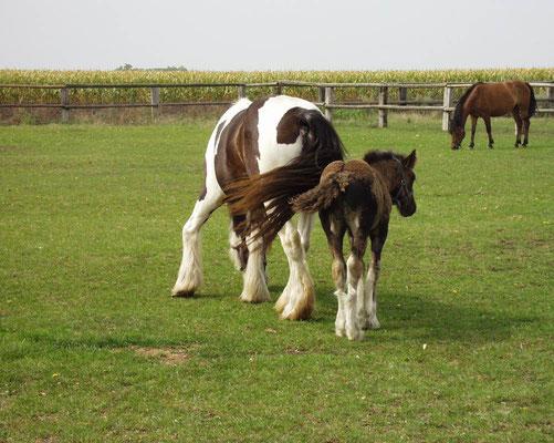 Stute und Fohlen auf der Wiesenkoppel, Einstellpferde Reithof Althof