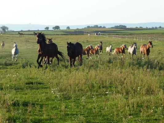 Pferde stürmen auf die Wiesenkoppel, artgerechte Pferdehaltung im Burgenland