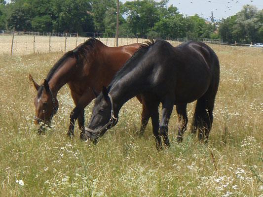 Pferde auf der Wiesenkoppel, Reiterhof Althof